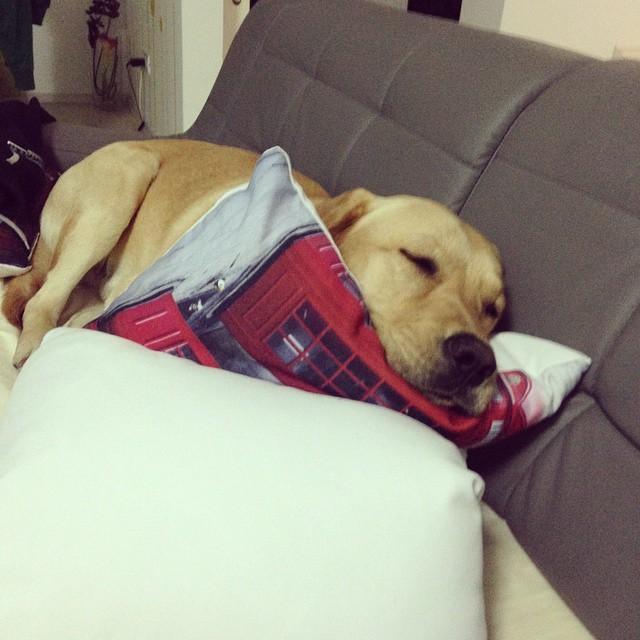 :) who's the boss!? @Mojo #dog #pet #labradorretriever #labrador #joy #happymoments #lifeinpictures #mojo