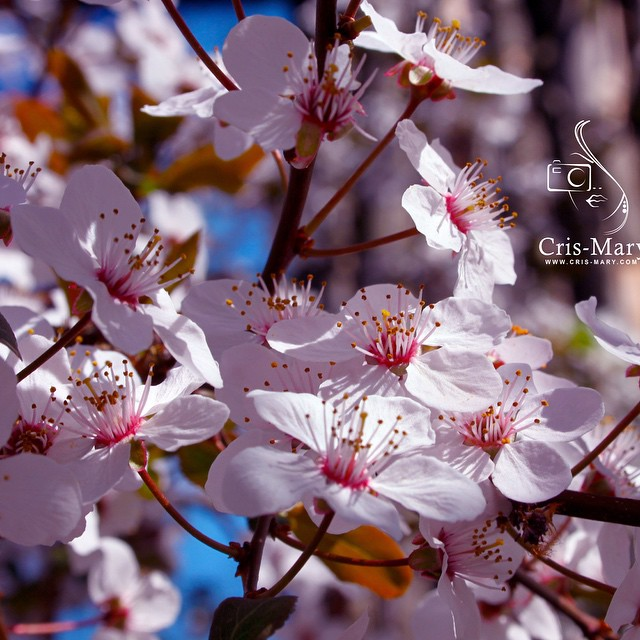 Missing the smell of spring flowers and the joy of nature rebirth! I must say i have an obsession in taking photos of spring flowers :))) ?Have a great weekend darlings #spring #flowers #springflowers #canon #ilovephotography #photography #photooftheday #lifemoments #lifeinpictures #nature #bloom #cherrybloom